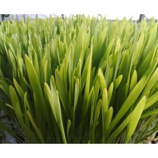 Iarbă de Orz EL-Dor Plant