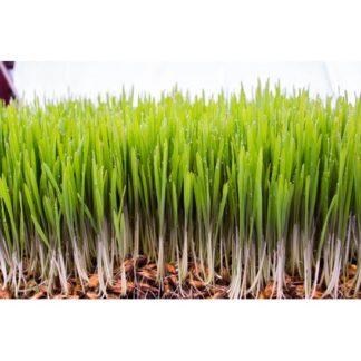 Iarbă de Grâu El-Dor Plant