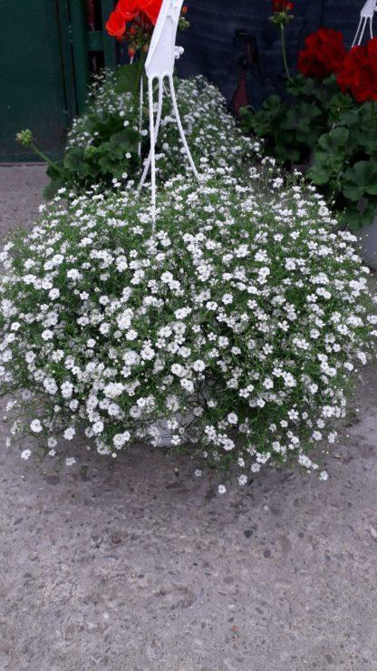 floarea miresii-2