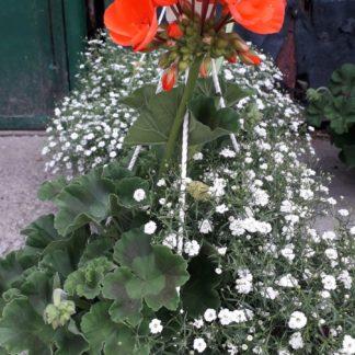Muscata cu floarea miresii